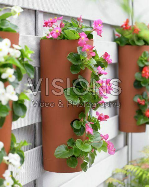 Begonia in hanging pot