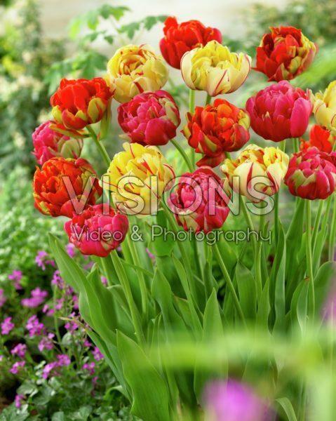 Tulipa Unique ® mix