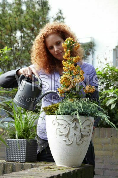 Woman watering Pyracantha coccinea