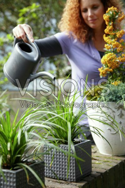 Woman watering Carex on pot
