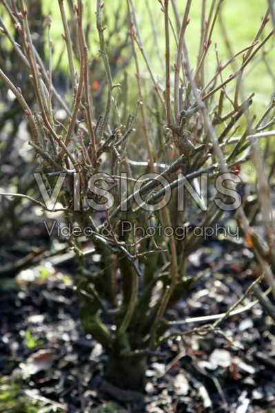 Ribes rubrum