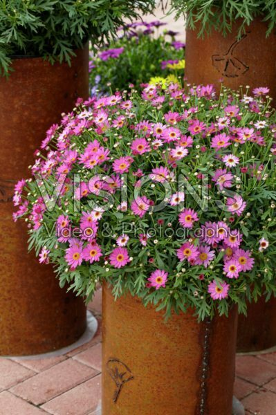 Argyranthemum frutescens Madeira Deep Pink Ipd