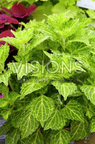 Solenostemon scutellarioides Electric Lime®