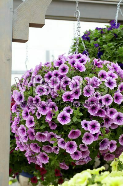 Petunia Suncatcher Plum Vein