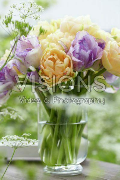 Tulipa Apricot Angelique, Double Shirley